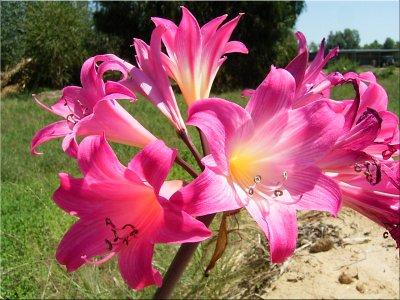 Mainly amaryllids garden a mail order conservation garden for Amaryllis belladonna